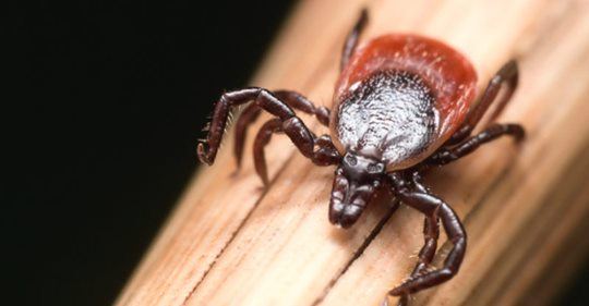 Featured Image for New tick-borne illness is deadlier than Lyme disease